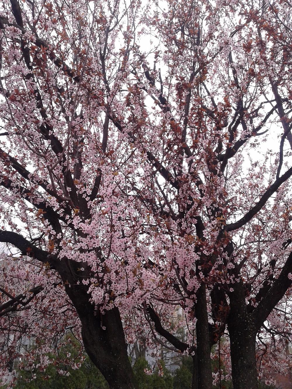 フォートリーの桜