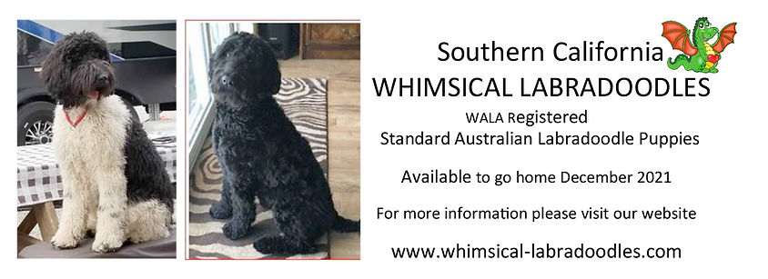 Whimsical Labradoodle Pup Ad.jpg