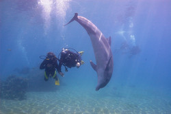 Dolphins during a dive