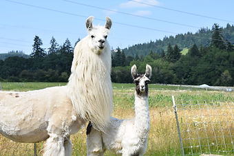two of Frog Pond Farm's llamas in a field