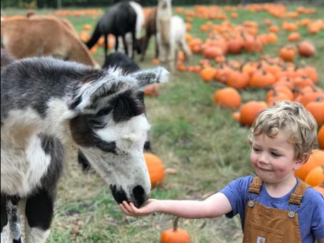 FAQ: Pumpkin Patch & Spooky Farm Walk