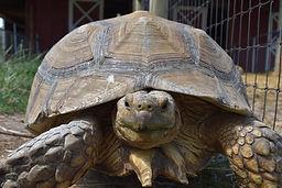 One of the farm's tortoises