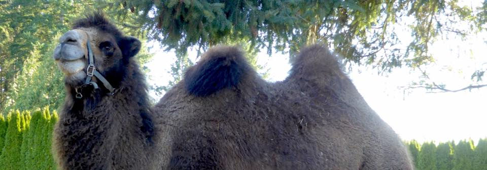 One of the farm's camels
