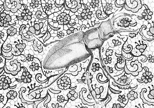 Dainty Stag Beetle.jpg