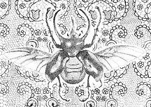 Dainty Atlas Beetle.jpg