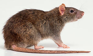 Rodent-control-in-Bangalore.jpg