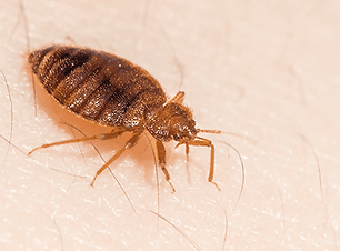 bed-bug-on-a-massachusetts-resident.png