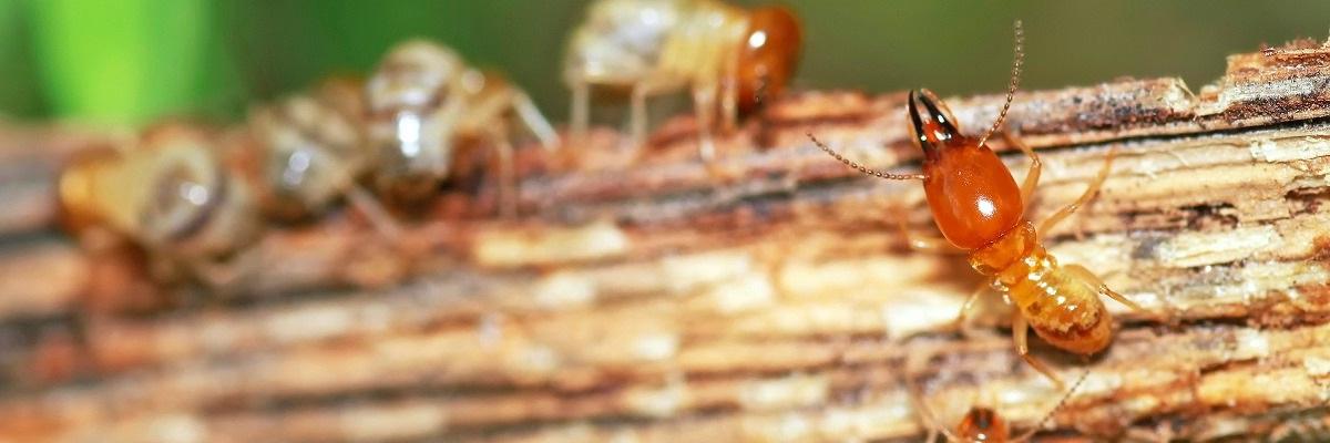 Termite-control-ANZ-Pest-Control