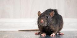 rat-in-house