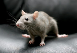 rodent-control-methods