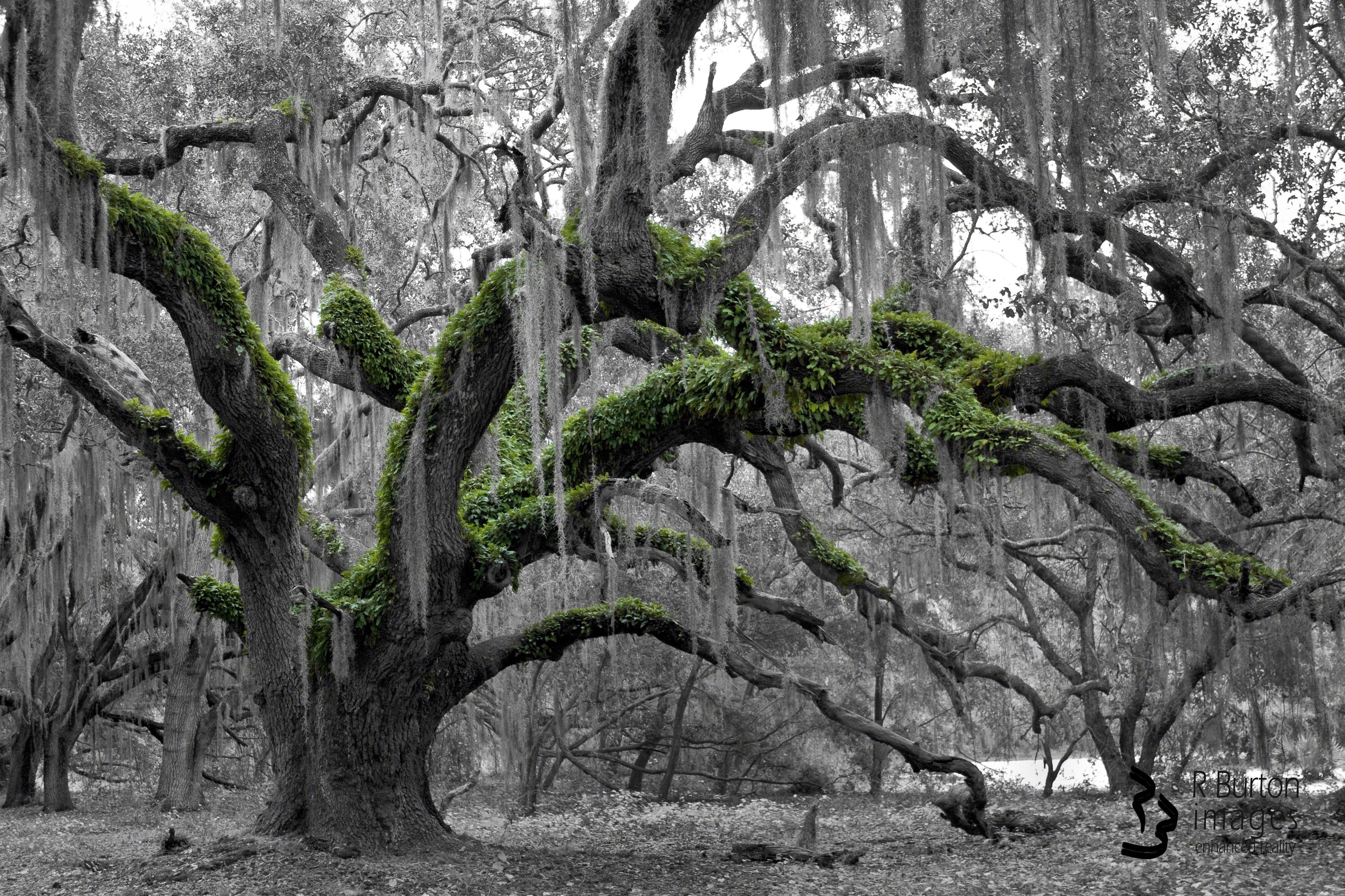 Hydra Oak