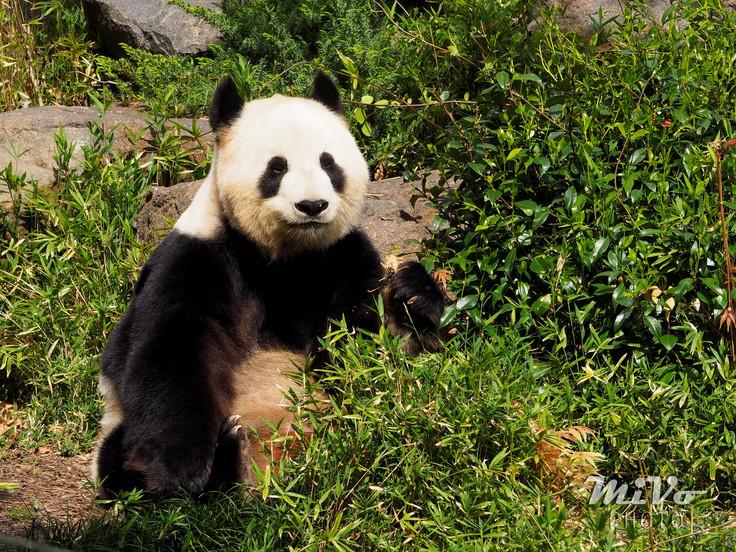 Adelaide's Panda