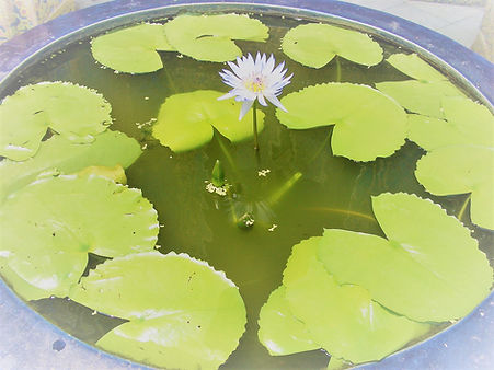 lotusflowerblue.JPG