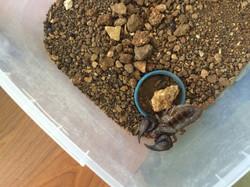 The biggest scorpion
