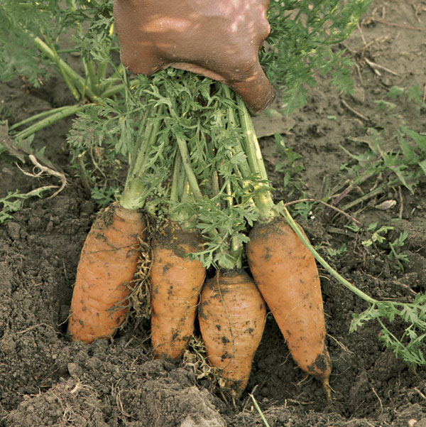 carrots in ground