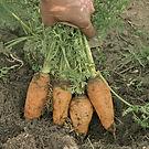 carrots in ground.jpg