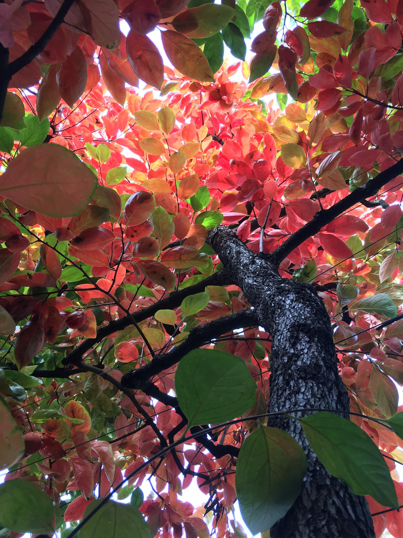 Persimmon Tree (2)