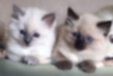 ragdoll kittens, ragdoll breeder uk, ragdoll kittens available