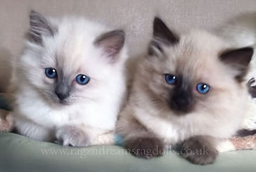 ragdoll kittens, ragdoll breeder uk, ragdoll kittens available