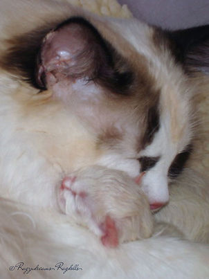 Ragdoll Kittens,Ragdoll Breeder UK, Ragzndreams Ragdolls, Seal Tortie Bicolour Ragdoll