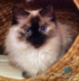 Ragdoll Kittens,Ragdoll Breeder UK, Ragzndreams Ragdolls, Seal Tortie Colourpoint Ragdoll