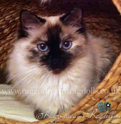 Ragdoll Kittens,Ragdoll Breeder UK, Ragzndreams Ragdolls, Seal Tortie Colourpoint Ragdoll