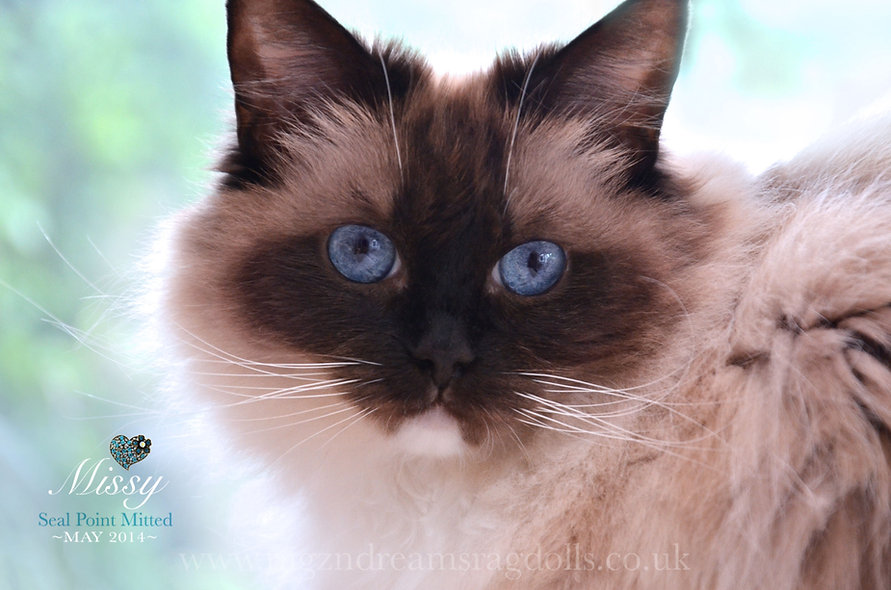 seal mitted ragdoll cat, ragzndreams ragdolls, ragdoll breeder UK, ragdoll kittens