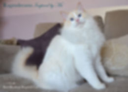 red bicolour ragdoll cat, ragdoll breeder UK, ragdoll kittens, ragzndreams ragdolls