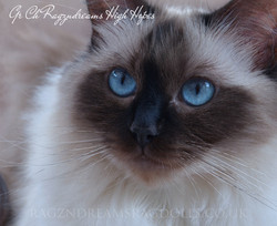 Seal Colourpoint Ragdoll Cat
