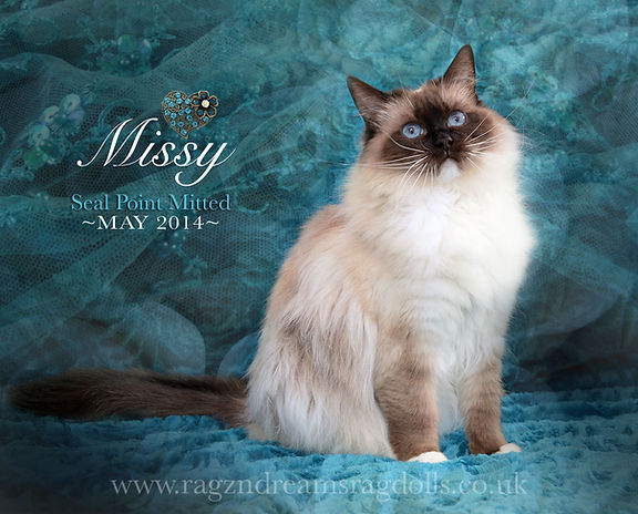 ragzndreams ragdolls, ragdoll breeder UK, ragdoll kittens