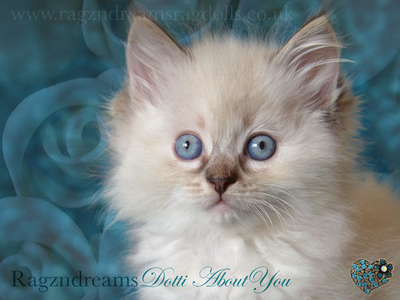 seal colour point ragdoll kitten,ragzndreams ragdolls, ragdoll breeder UK, ragdoll kittens