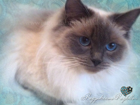 Ragdoll Cat, ragzndreams ragdolls, ragdoll breeder UK, ragdoll kittens