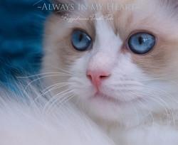 Seal Bicolour Ragdoll Kitten