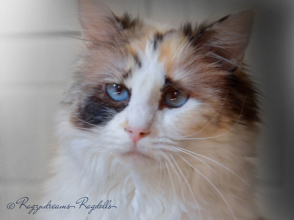 Ragdoll cat,ragzndreams ragdolls, ragdoll breeder UK, ragdoll kittens