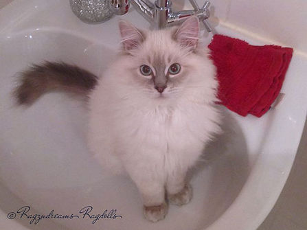 ragzndreams,ragdoll breeder UK,ragdoll kittens