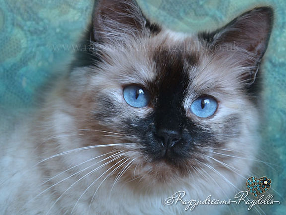 ragzndreams ragdolls, ragdoll breeder UK, ragdoll kittens, ragdoll cat, seal tortie ragdoll cat