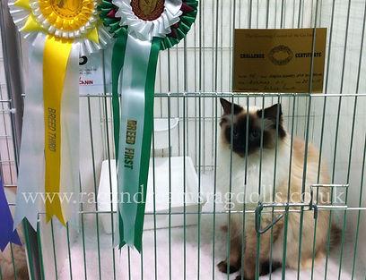 seal colourpoint ragdoll kitten, ragdoll breeder UK, ragdoll kittens available UK, ragzndreams ragdolls