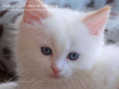 ragzndreams,ragdoll breeder UK,ragdoll kittens