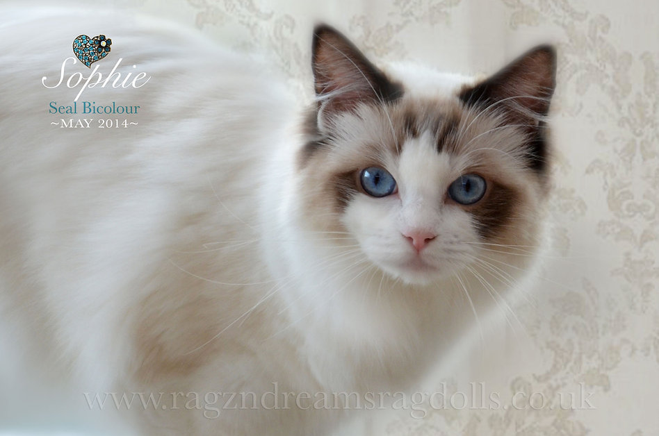 Ethical and responsible breeder of Ragdoll kittens UK