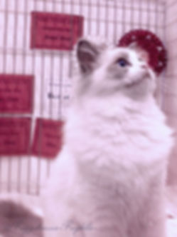 Ragdoll Breeder UK Ragdoll Kittens UK Ragzndreams Ragdolls