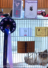 Ragdoll Kittens Available UK, ragdoll breeder UK