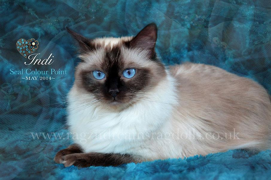 Ragdoll Kittens,Ragdoll Breeder UK, Ragzndreams Ragdolls, Seal Colourpoint Ragdoll
