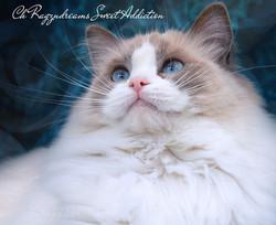 Blue Bicolour Ragdoll Cat