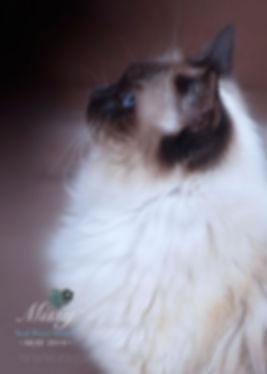 ragzndreams ragdolls, ragdoll breeder UK, ragdoll kittens, seal mitted ragdoll cat