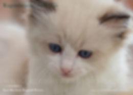 Seal Bicolour, ragdoll breeder UK, ragdoll kittens, ragzndreams ragdolls