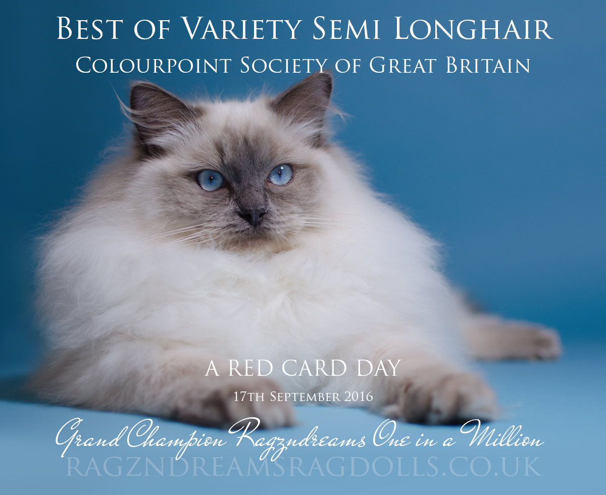 Blue Colourpoint Ragdoll Cat