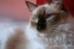 ragdoll kittens, ragdoll breeder UK, Seal mitted ragdoll