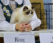 Ragdoll Breeder UK, seal bicolour ragdoll kitten