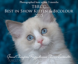Blue Bicolour Ragdoll Kitten