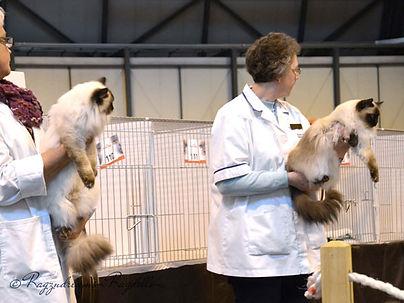 ragdoll breeder UK